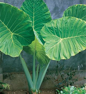 Giant Upright Elephant Ears