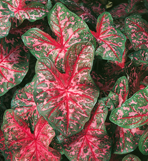 Pink Fancy Caladiums