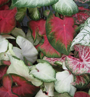 Caladiums Direct Mixed Caladiums Mixed Caladium Bulbs